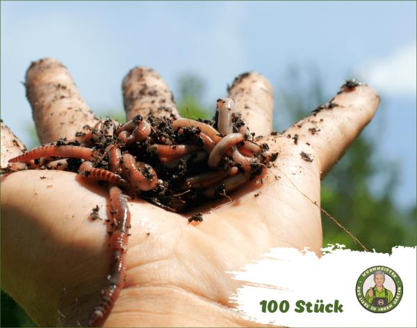 Angelwürmer 100 Stück - Futterwürmer Rotwurm Dendrobena Angelköder Kompostwürmer | WurmMeister